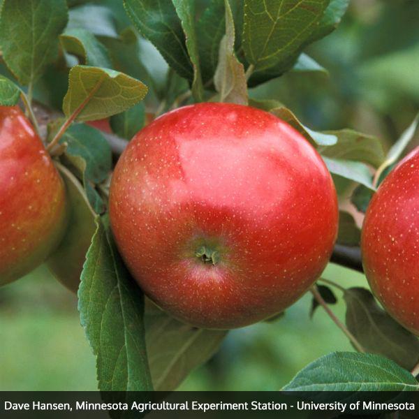 Zestar Apple Tree Garden Plant