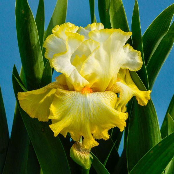 Zesting Lemons Tall Bearded Iris Garden Plant