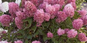 Zinfin Doll Hydrangea Garden Plant