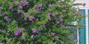 Zuni Crape Myrtle Garden Plant