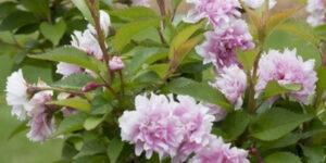 Zuzu Dwarf Flowering Cherry Tree Garden Plant
