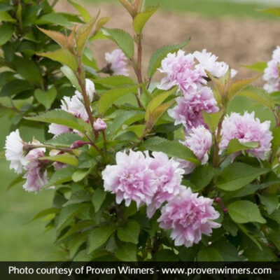 Zuzu Dwarf Flowering Cherry Tree Garden Plant