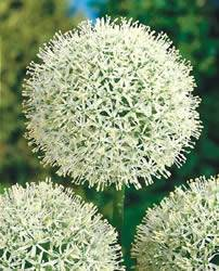 Allium Mount Everest Fall Bulb