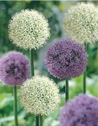 Allium Purple and White Mixed Colors Fall Bulb