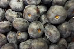 Blueberries Earliblue Spring Bulb