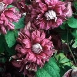Clematis Purpurea Plena Elegans Vine