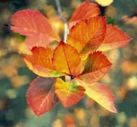 Crataegus crusgalli 'Crusader' Crusader Hawthorn Tree Plant