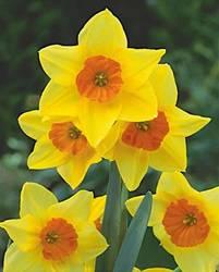 Daffodil Jonquilla Suzy Fall Bulb