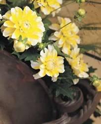 Dahlia Osaka Spring Bulb