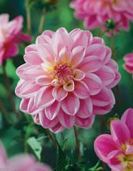 Dahlia Large Decorative 'Pink Accent' Dahlia Decorative Pink Accent Spring Bulb Plant
