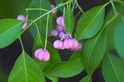 Euonymus bungeana 'Verona' Euonymus Prairie Radiance Winterberry Shrub Plant