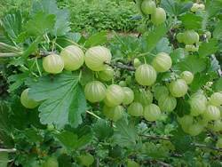 Gooseberry Pixwell Small Fruit