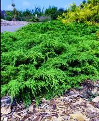 Microbiota decussata Russian Cypress Shrub Plant