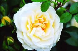 Rosa 'J. P. Connell' J P Connell Rose Rose Bushes Plant