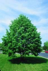 Tilia cordata 'Baileyi' Shamrock Linden Tree Plant