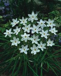 Ipheion uniflorum 'White Star' Spring Star Flower White Star Fall Bulb Plant