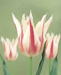 Tulip Lily Flowering Marilyn Fall Bulb