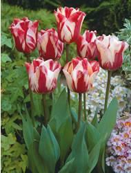 Tulip Single Late Va Bien Fall Bulb