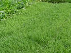 UC Verde Buffalo Grass Plugs Turf Grass