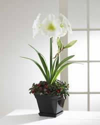 Amaryllis and Gaultheria in ceramic planter