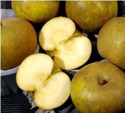 Ashmeads Kernel Fruit Tree