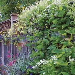 Clematis Sweet Autumn Vine