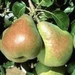 Comice Fruit Tree