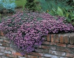 Saponaria ocymoides 'Cote d'Azur Pinks' Cote d Azur Pinks Spring Bulb Plant