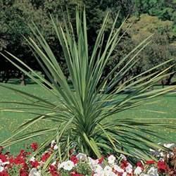 Dracaena 'Indivisa Spikes' Dracaena Indivisa Spikes Annual Plant