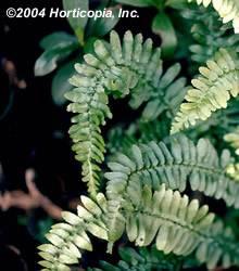 Ebony Spleenwort Fern Fern