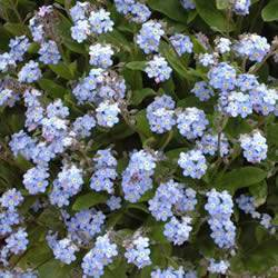 Forget me not Royal Blue Ground Cover