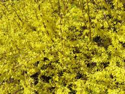 Forsythia x 'New Hampshire Gold' Forsythia New Hampshire Gold Shrub Plant