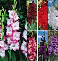 Gladiolus Cutting Garden Collection Spring Bulb