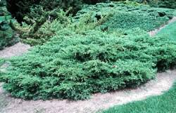 J. chinensis 'Kallays Compact' Juniper Kallays Compact Shrub Plant