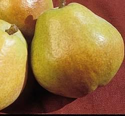 Kieffer Fruit Tree