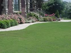 Legacy Buffalo Grass Plugs Turf Grass