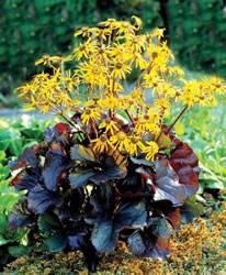Ligularia Brit Marie Perennial