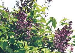 Syringa x josiflexa 'Royalty' Lilac Royalty Shrub Plant