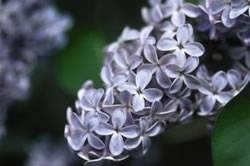 Syringa vulgaris 'President Lincoln' Lilac President Lincoln Shrub Plant