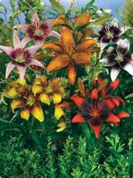 Lilium tango Lily Tango Collection Spring Bulb Plant