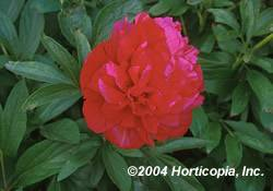 Peony Red Perennial