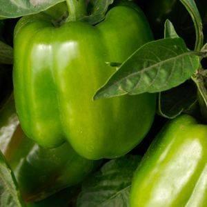 Pepper California Wonder Organic Organic Plant