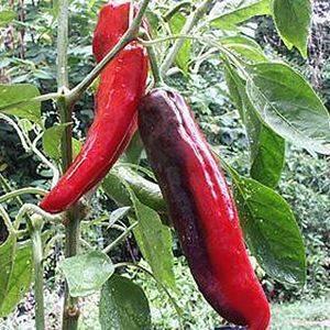 Pepper Spanish Spice Organic Organic Plant