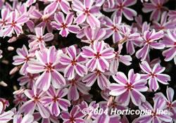 Phlox Candy Stripe Ground Cover