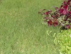 Prestige Buffalo Grass Plugs Turf Grass