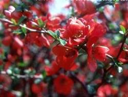 Chaenomeles japonica Quince Japanese Flowering Quince Shrub Plant