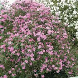 Rhododendron P J M Shrub