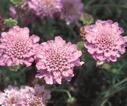 Scabiosa 'Samantha's Pink' Scabiosa Samanthas Pink Perennial Plant