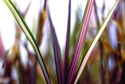 Grass Variegated Ribbon Perennial