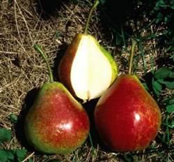 Summercrisp Fruit Tree